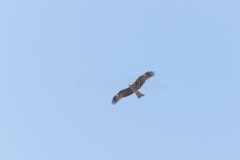 Μαύρος ικτίνος που πετά στα ύψη σε έναν μπλε ουρανό στοκ φωτογραφίες με δικαίωμα ελεύθερης χρήσης