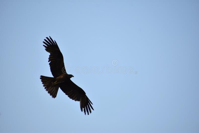 Μαύρος ινδικός ικτίνος - ελεύθερο πουλί στα όμορφα φτερά ουρανού στοκ εικόνες