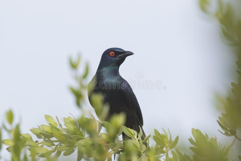 Μαύρος-διογκωμένο στιλπνό ψαρόνι στοκ εικόνες
