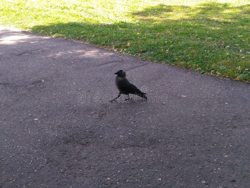 Μαύρος και γκρίζος σημαντικός ρυθμός πουλιών στο δρόμο στοκ φωτογραφίες με δικαίωμα ελεύθερης χρήσης