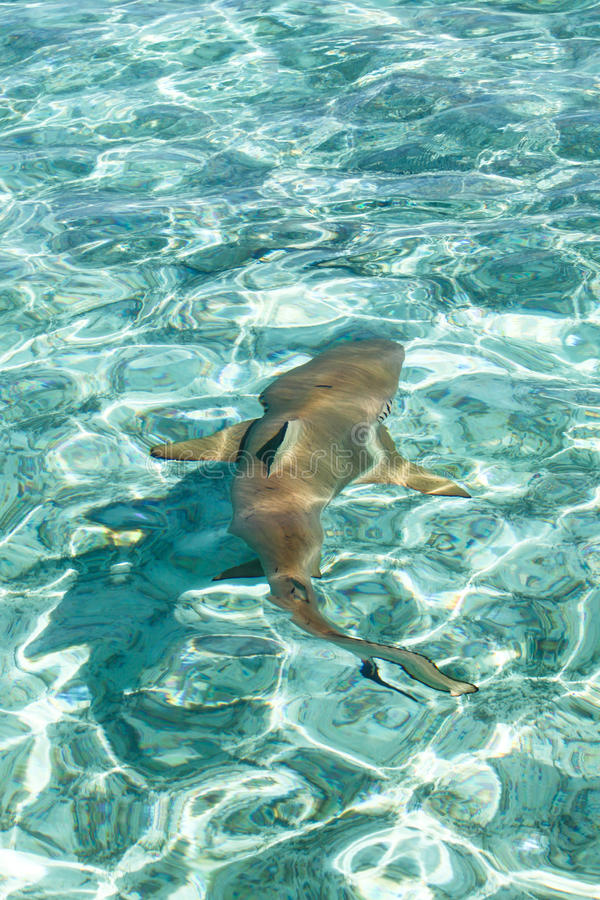 μαύρος καρχαρίας σκοπέλων που τοποθετείται αιχμή στοκ φωτογραφίες με δικαίωμα ελεύθερης χρήσης