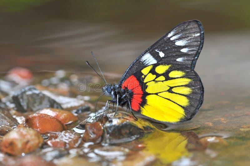 μαύρος κόκκινος κίτρινος πεταλούδων στοκ φωτογραφίες