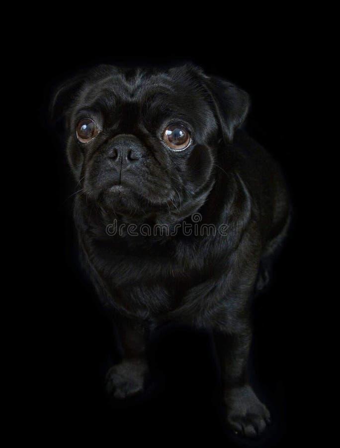 μαύρος μαλαγμένος πηλός σκυλιών στοκ εικόνες