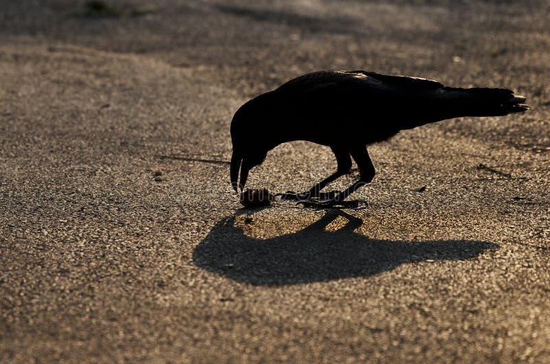 Μαύρος μεγάλος κόρακας στη συμπαθητική ώρα ηλιοβασιλέματος, μαύρος κόρακας και η σκιά της σε έναν γρανίτη Άγριος κόρακας στην οδό στοκ φωτογραφίες
