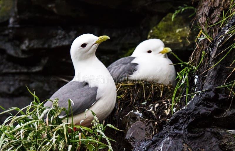 Μαύρος-με πόδια Kittiwake Seagull δύο που φρουρεί τις φωλιές τους με τον απόγονο σε έναν απότομο βράχο Πουλί αποικιών στους υψηλο στοκ φωτογραφία με δικαίωμα ελεύθερης χρήσης