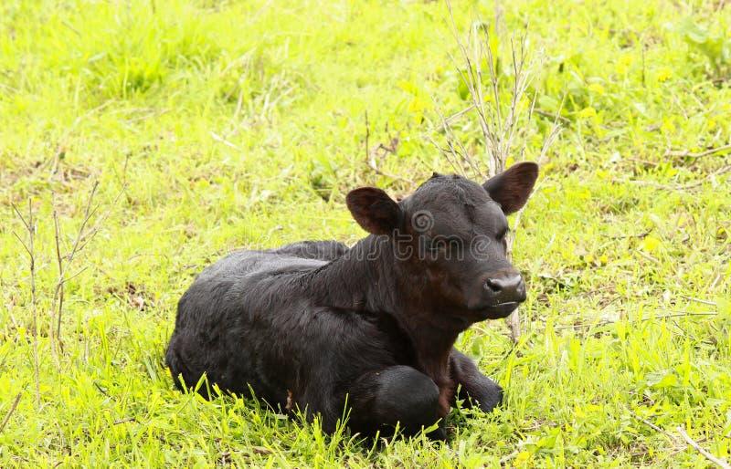 Μαύρος μόσχος αγελάδων στοκ εικόνες