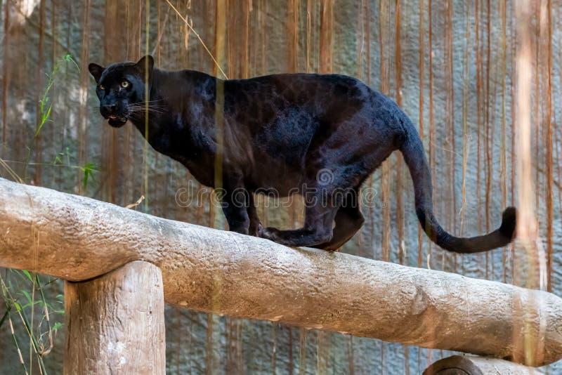 Μαύρος πάνθηρας που στέκεται σε ένα κούτσουρο που εξετάζει την απόσταση στοκ εικόνα