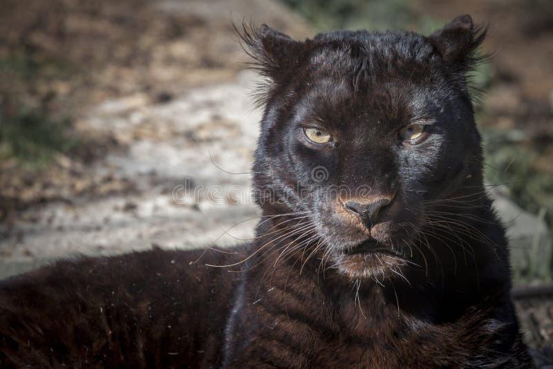 μαύρος πάνθηρας στοκ φωτογραφίες