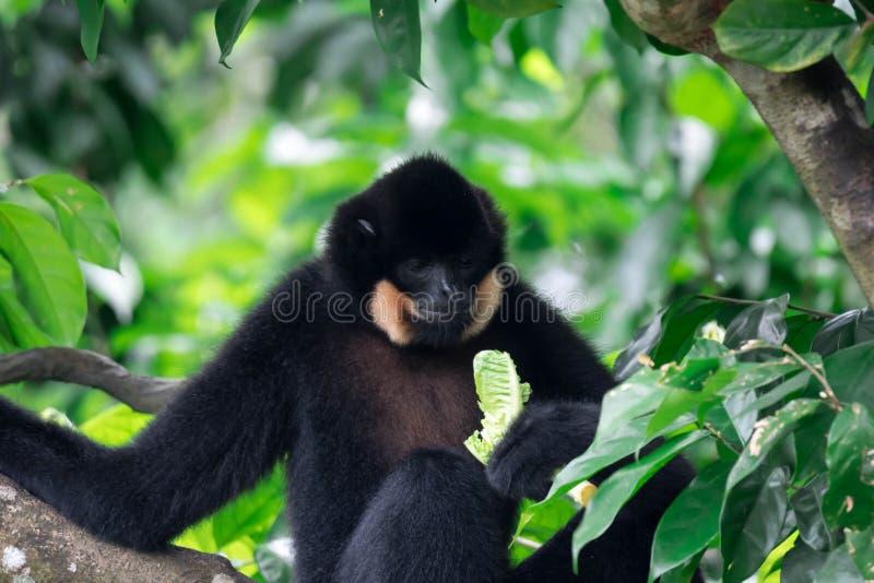 Μαύρος πίθηκος Ateles αραχνών chamek τρώγοντας το λαχανικό σε ένα δέντρο στοκ εικόνες
