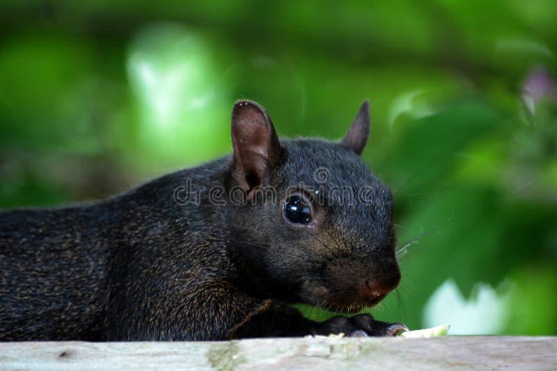 μαύρος σκίουρος στοκ φωτογραφίες