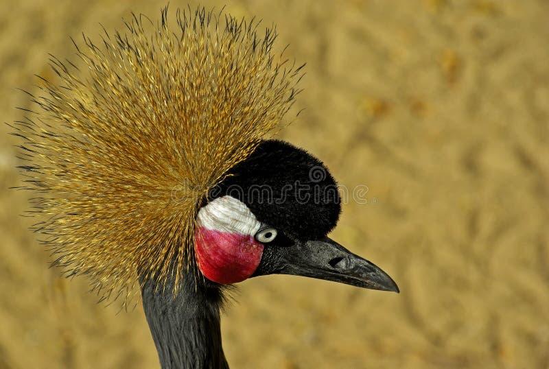 Μαύρος στεμμένος γερανός στοκ φωτογραφία με δικαίωμα ελεύθερης χρήσης