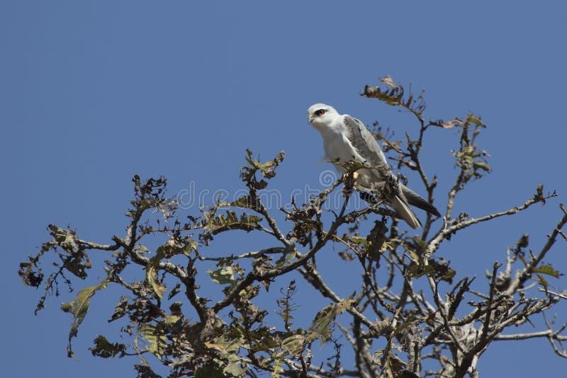 Μαύρος-φτερωτή συνεδρίαση ικτίνων πάνω από ένα δέντρο με μια ηλιόλουστη ημέρα στοκ εικόνες