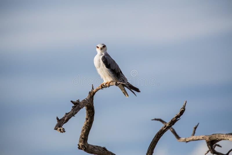 Μαύρος-φτερωτός ικτίνος στοκ φωτογραφία με δικαίωμα ελεύθερης χρήσης