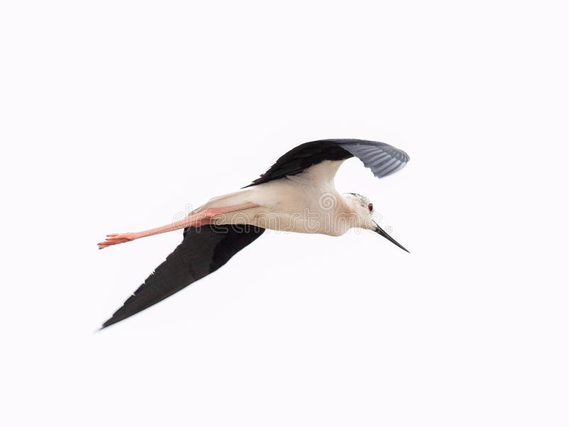 Μαύρος φτερωτός μακρύς - μπεκατσίνι Himantopus Himantopus ποδιών στοκ εικόνα με δικαίωμα ελεύθερης χρήσης