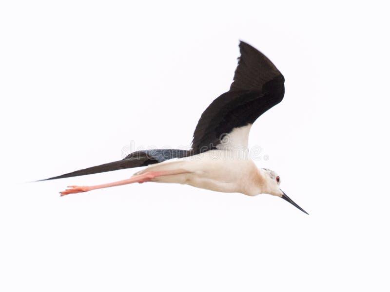 Μαύρος φτερωτός μακρύς - μπεκατσίνι Himantopus Himantopus ποδιών στοκ εικόνες