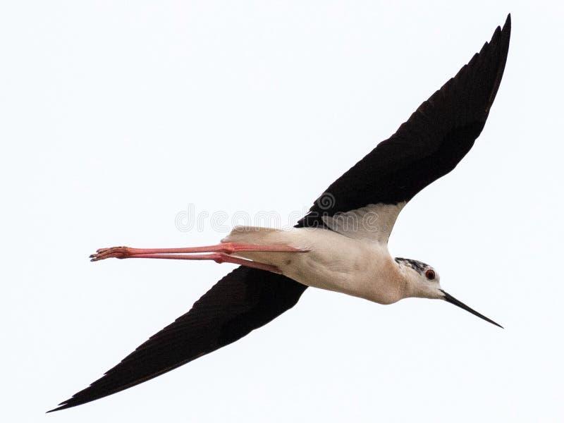Μαύρος φτερωτός μακρύς - μπεκατσίνι Himantopus Himantopus ποδιών στοκ εικόνα