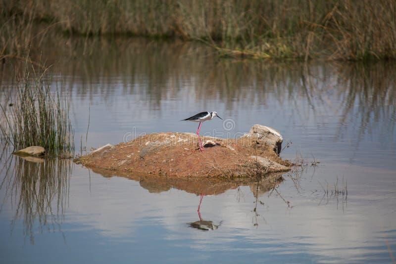 Μαύρος-φτερωτό ξυλοπόδαρο στο νερό λιμνών στοκ εικόνα με δικαίωμα ελεύθερης χρήσης