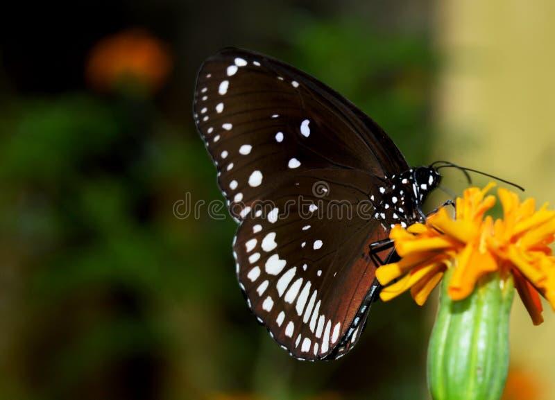 Μαύρος όμορφος πεταλούδων στοκ εικόνες