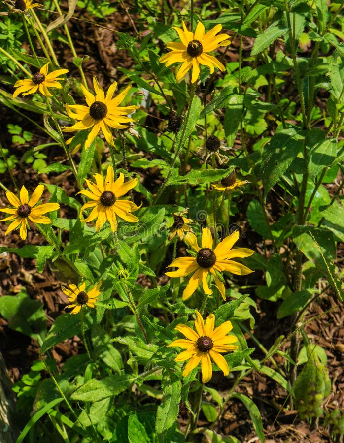 Μαύρος-eyed hirta της Susan Wildflowers †«Rudbeckia στοκ εικόνα με δικαίωμα ελεύθερης χρήσης