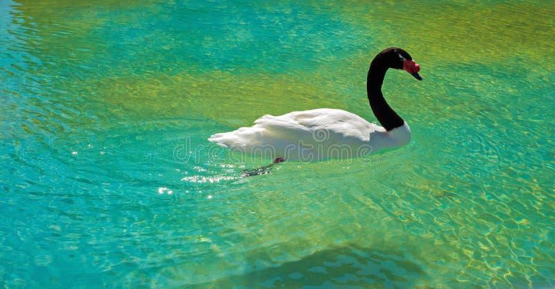 Μαύρος necked κύκνος στοκ φωτογραφία με δικαίωμα ελεύθερης χρήσης