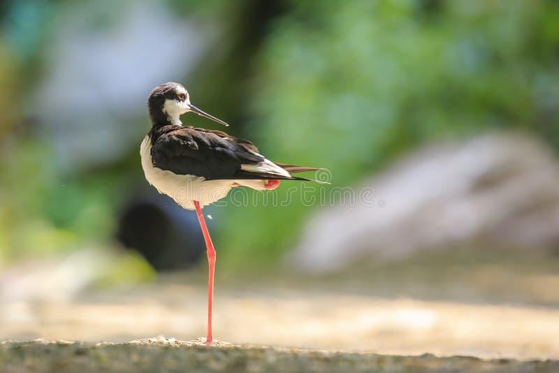 Μαύρος-necked ξυλοπόδαρο, mexicanus Himantopus, τοποθέτηση πουλιών καλοβατικών και στοκ φωτογραφία με δικαίωμα ελεύθερης χρήσης