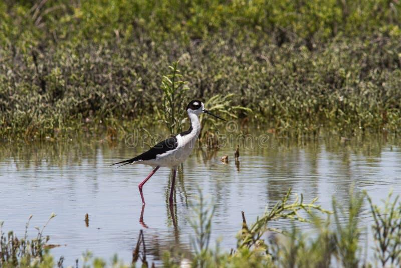 Μαύρος-necked ξυλοπόδαρο στοκ εικόνες με δικαίωμα ελεύθερης χρήσης