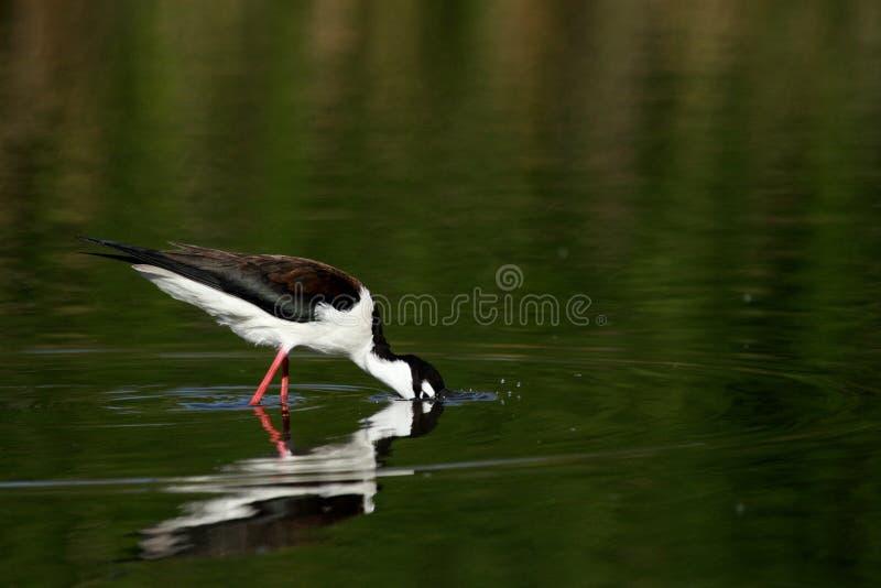 Μαύρος-necked πουλί ξυλοποδάρων στοκ φωτογραφία με δικαίωμα ελεύθερης χρήσης