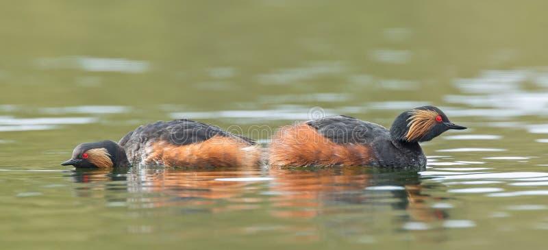 Μαύρος-necked Grebes στοκ φωτογραφίες με δικαίωμα ελεύθερης χρήσης