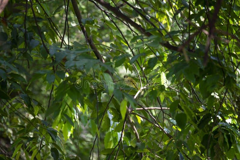 Μαύρος - oriole στοκ εικόνες