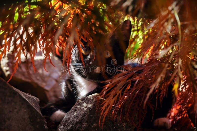 Μαύρο άσπρο κυνήγι γατών κάτω από το δέντρο acer στον κήπο στοκ εικόνες με δικαίωμα ελεύθερης χρήσης