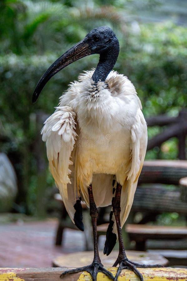 Μαύρο & άσπρο πουλί νερού στοκ εικόνα