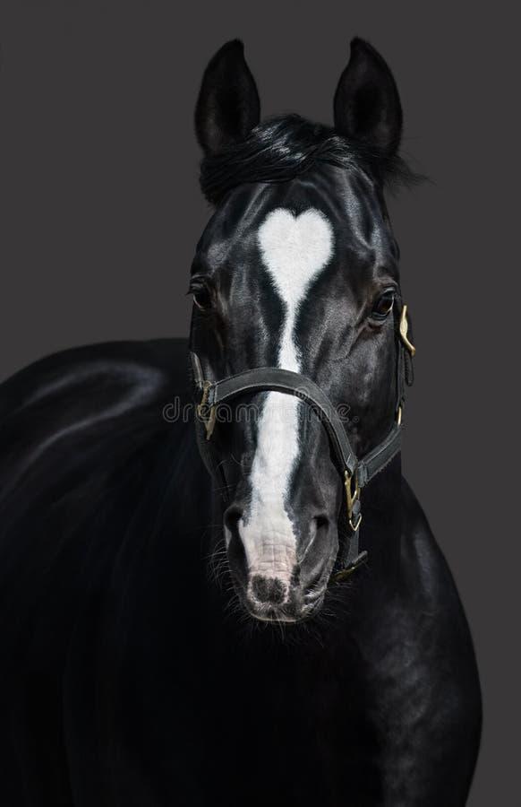 Μαύρο άλογο στο halter με το σημάδι καρδιών Unigue και σπάνιος που χρωματίζονται στοκ εικόνες