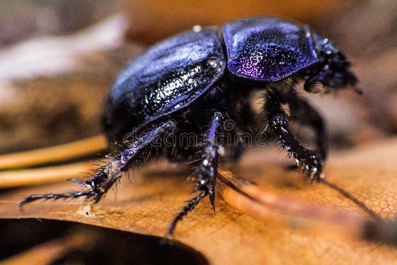 Μαύρο έντομο περπατήματος στοκ εικόνες με δικαίωμα ελεύθερης χρήσης