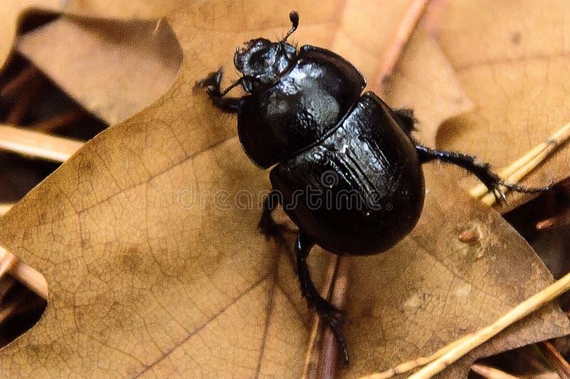 Μαύρο έντομο περπατήματος στοκ φωτογραφία