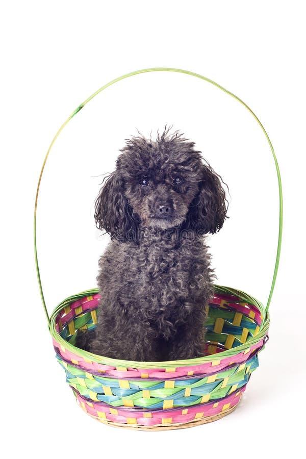 μαύρο απομονωμένο Πάσχα poodle κ& στοκ εικόνα