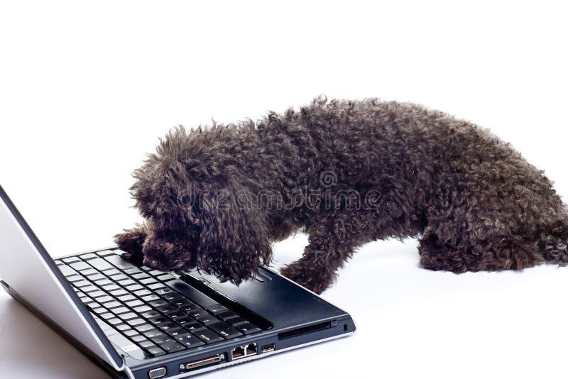 μαύρο απομονωμένο poodle παιχνί&delta στοκ φωτογραφία