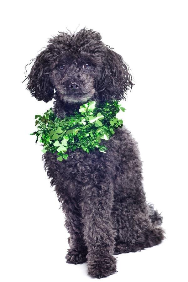 μαύρο απομονωμένο poodle παιχνί&delta στοκ φωτογραφία με δικαίωμα ελεύθερης χρήσης