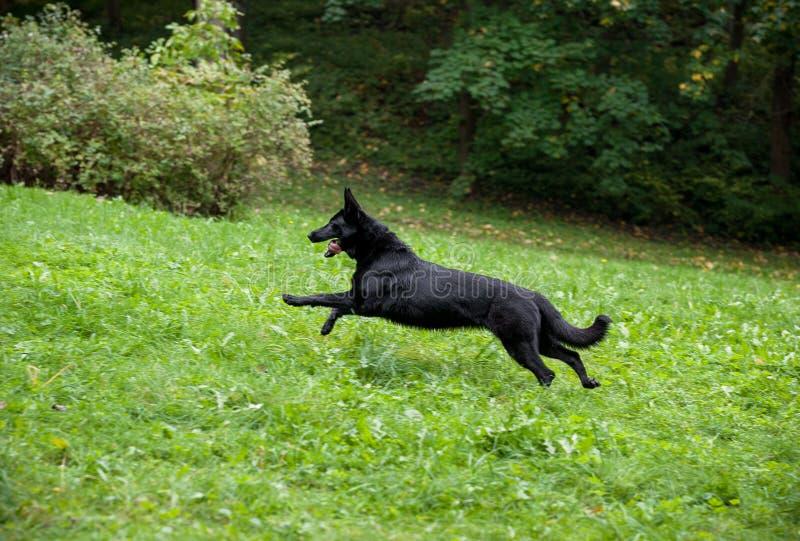 Μαύρο γερμανικό σκυλί ποιμένων που τρέχει στη χλόη Ανοικτό στόμα, γλώσσα έξω στοκ φωτογραφία