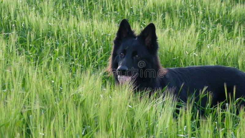 Μαύρο γερμανικό σκυλί ποιμένων στον τομέα κριθαριού στοκ φωτογραφία
