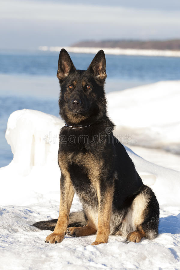 Μαύρο γερμανικό τσοπανόσκυλο στοκ φωτογραφία με δικαίωμα ελεύθερης χρήσης