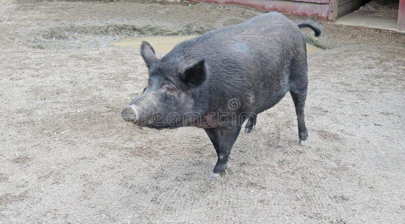 Μαύρο γουρούνι κάπρων σκληρών τριχών στοκ εικόνα με δικαίωμα ελεύθερης χρήσης