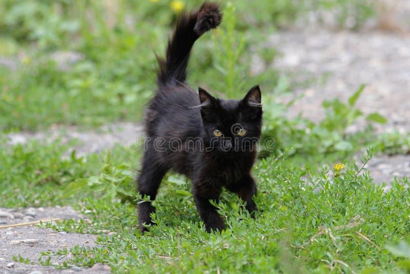 Μαύρο γούνινο γατάκι που περπατά στη χλόη στοκ εικόνα με δικαίωμα ελεύθερης χρήσης