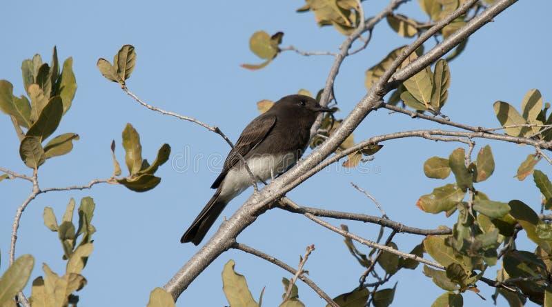 Μαύρο γραπτό flycatcher πουλί της Phoebe Sayornis nigricans στοκ φωτογραφία με δικαίωμα ελεύθερης χρήσης