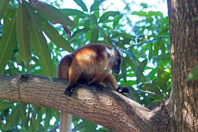 μαύρο ενδημικό macaco Μαδαγασκάρη κερκοπίθηκων eulemur antananarivo στον τρωτό ζωολογικό κήπο στοκ φωτογραφίες