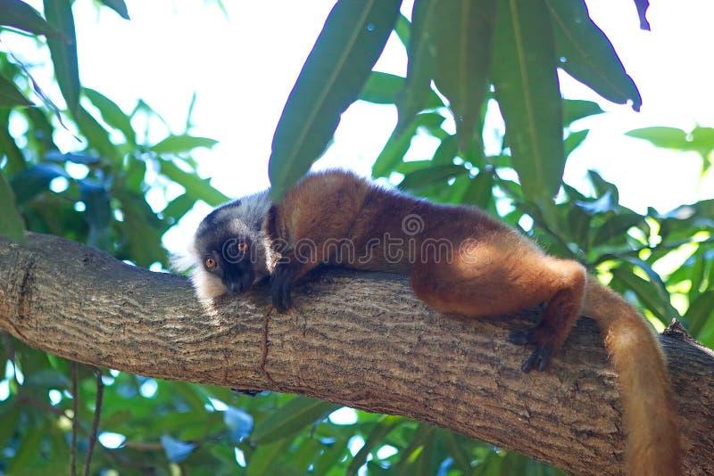 μαύρο ενδημικό macaco Μαδαγασκάρη κερκοπίθηκων eulemur antananarivo στον τρωτό ζωολογικό κήπο στοκ εικόνες με δικαίωμα ελεύθερης χρήσης