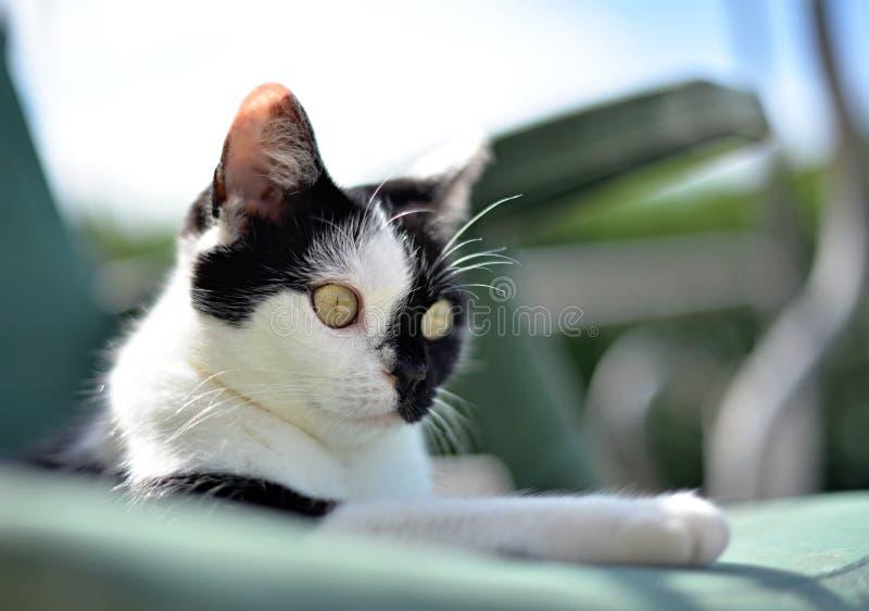 μαύρο λευκό γατών στοκ φωτογραφίες με δικαίωμα ελεύθερης χρήσης