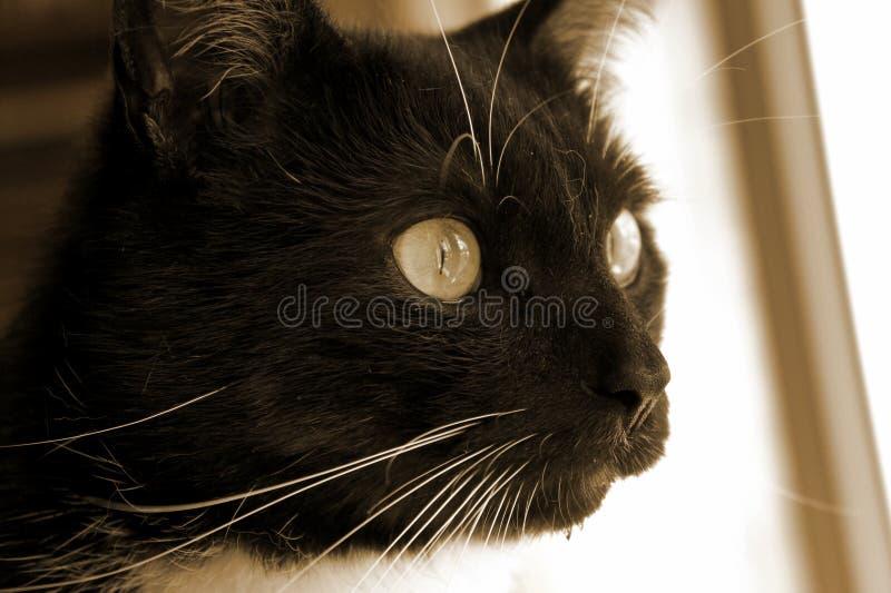 μαύρο λευκό γατών στοκ φωτογραφίες