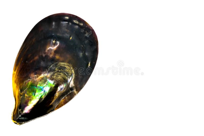 Μαύρο θαλασσινό κοχύλι διάφορων χρωμάτων στην άσπρη επιφάνεια υποβάθρου με ελεύθερου χώρου Τα χρώματα του κοχυλιού υπενθυμίζουν σ στοκ φωτογραφίες με δικαίωμα ελεύθερης χρήσης