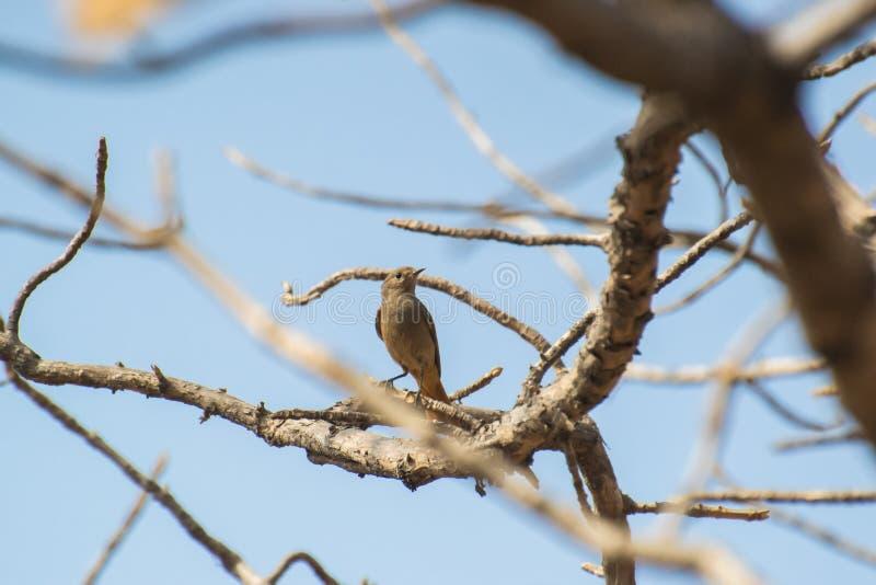 Μαύρο θηλυκό πουλί Redstart στον κλάδο δέντρων στοκ φωτογραφίες
