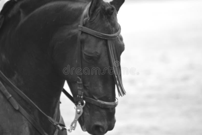 Μαύρο ισπανικό άλογο Ισπανία Μαδρίτη Pureblood στοκ εικόνες